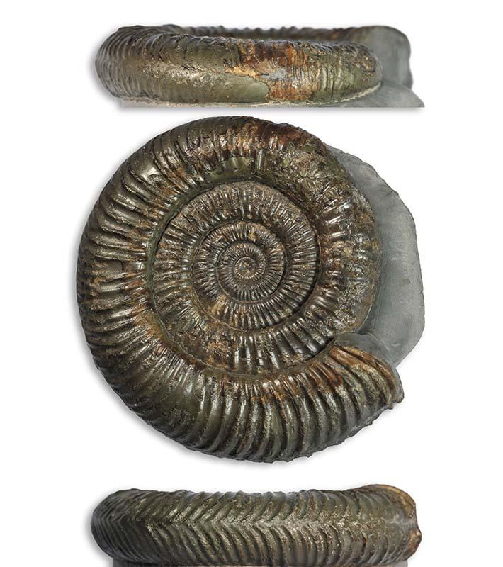 Dactylioceras sp. forma aegra pseudocarinata, 7 cm