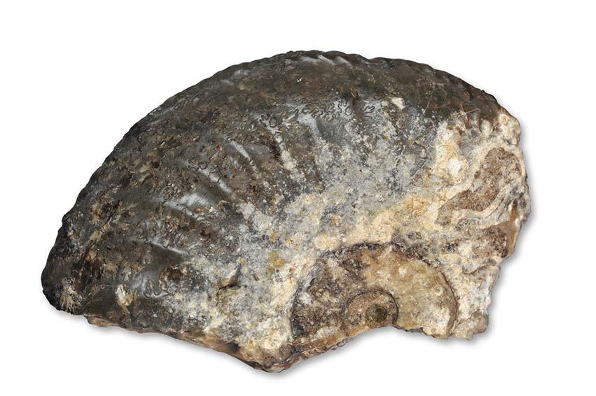 Amaltheus gibbosus (SCHLOTHEIM 1820), Staithes, width of fragment 5 cm