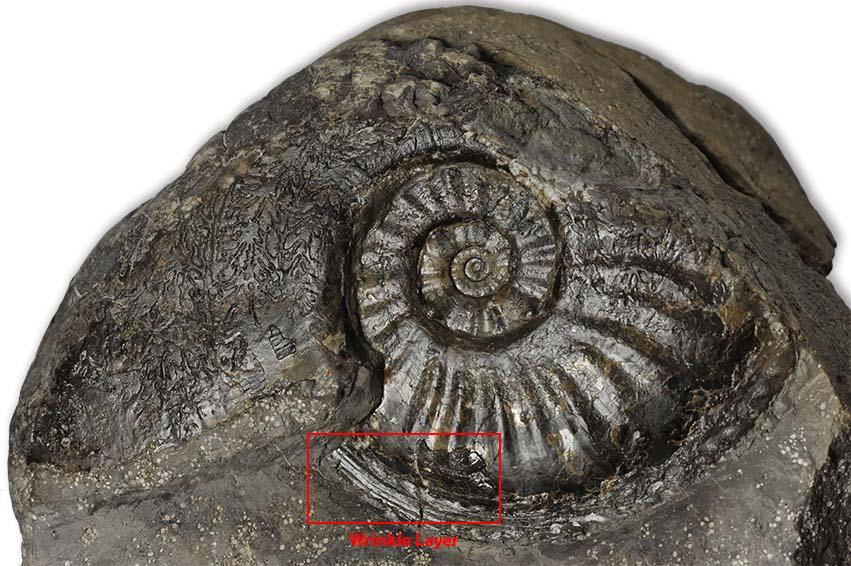 Amaltheus gibbosus (SCHLOTHEIM 1820), max. width 9 cm, remnanst of wrinkle layer marked