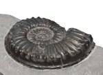Coroniceras deffneri, 6.5 cm, Holderness Coast
