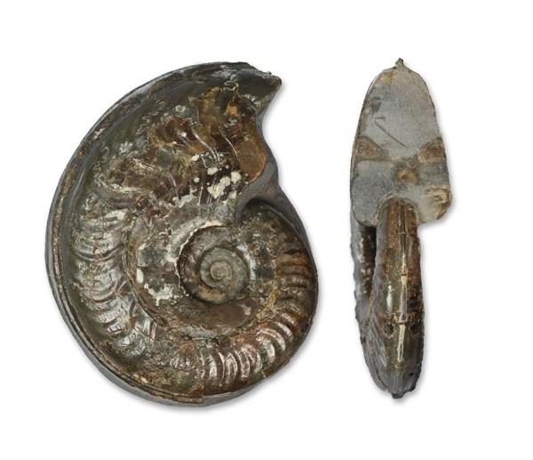 Harpoceras cf. soloniacense, 6.5 cm, Port Mulgrave