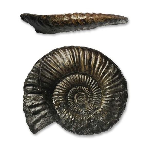 Uptonia lata, 9 cm, Saltburn