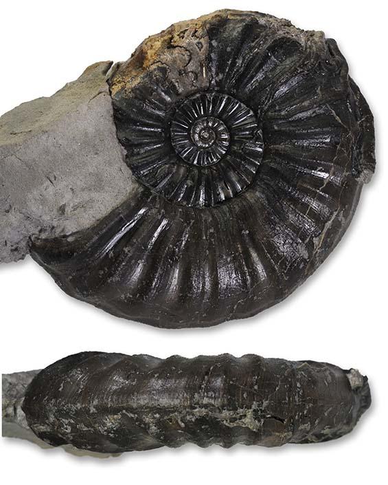 Asteroceras blakei, 6.5 cm, Robin Hoods Bay