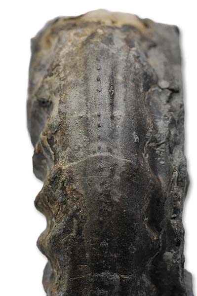 Asteroceras obtusum, fine crenelation on keel on air abraded specimen, Robin Hoods Bay