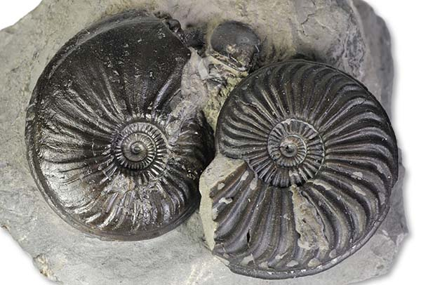 Direkt comparison between Eparietites impedens (left) and Caenisites brooki (right), both 3.5 cm, Robin Hoods Bay