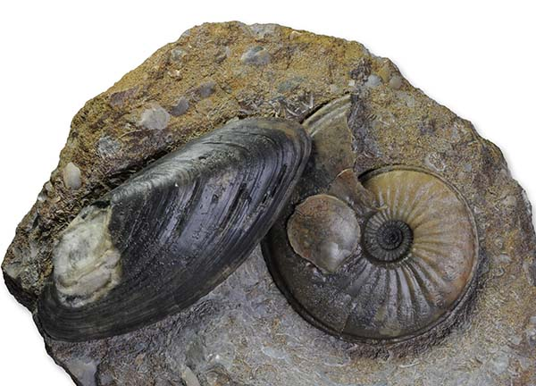 Eparietites impedens, with shell, 7.5 cm, Scunthorpe, purchased from M. Marshall