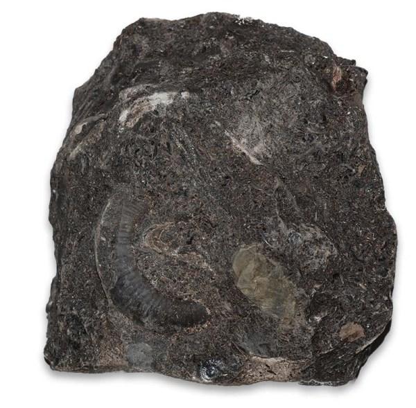 Dactylioceras (Orthodactylites) cf. semiannulatum, as found