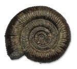 Dactylioceras commune - 8.5 cm - slightly finer ribbing, but very round whorl section