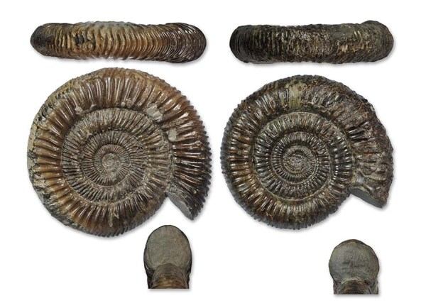 Direct comparison between D. athleticum (left) and D. commune (right), both about 7 cm.