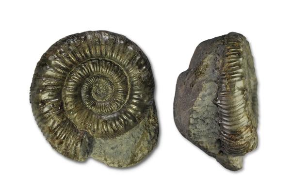 Peronoceras fibulatum, 6 cm