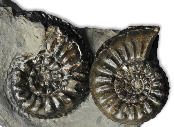 Direct comparison between Amaltheus gloriosus (left) and similarliy sized Amaltheus subnodosus (right)