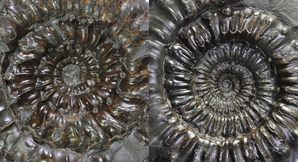 Comparison of the inner whorls between Peronoceras perarmatum (left) and Peronoceras subarmatum (right), width of view both about 5 cm.