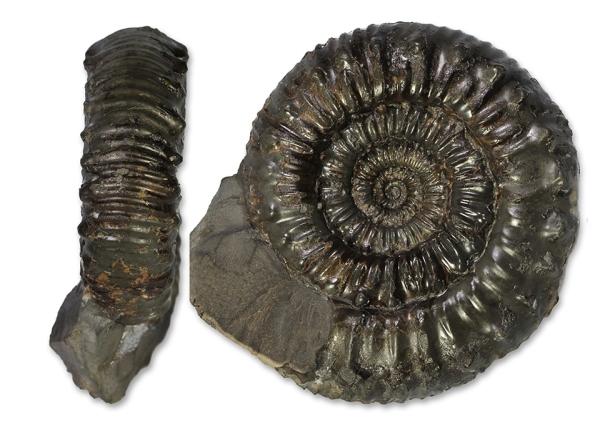Peronoceras subarmatum, 6.5 cm