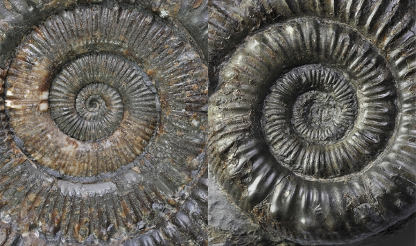 Comparison of the inner whorls between Peronoceras turriculatum (left) and Peronoceras fibulatum (right), width of view both about 5 cm.