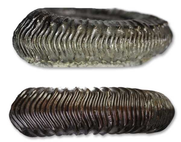 Comparison of the venter of Peronoceras turriculatum (top) and Dactylioceras cf. praepositum (bottom)