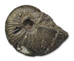 Gleviceras sp, 7 cm, Charmouth / Dorset