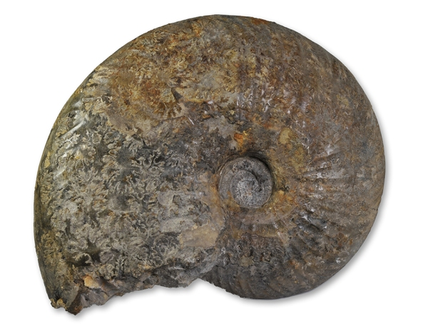 Gleviceras sp. from Radstock / Somerset, 17 cm, inner whorl not preserved