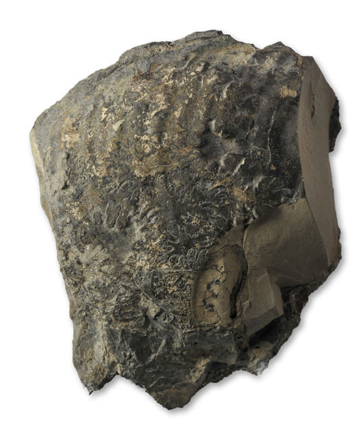 Fragment of Gleviceras subguibalianum, 6 cm wide , aplanatum subzone, Robin Hoods Bay