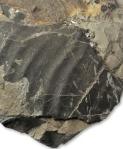 Shell fragment of Gleviceras guibalianum , aplanatum subzone, Robin Hoods Bay