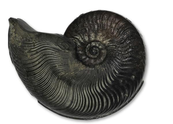 Cleviceras exaratum, 6 cm