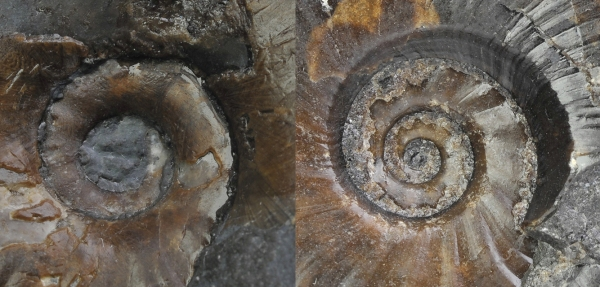 Comparison of umbilicus of approximately same sized Tiltoniceras (left) and Eleganticeras (right)