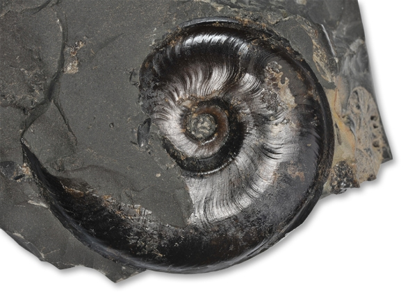 A 6 cm Eleganticeras elegantulum with a characteristically v-shaped cut in the shell of the body chamber