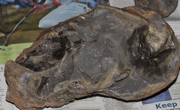 A 30 x 15 cm Cannonball nodule as found