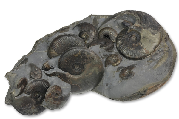 The same nodule masterfully prepared by Mike Marshall containing 16 ammonites between 2 and 10 cm.
