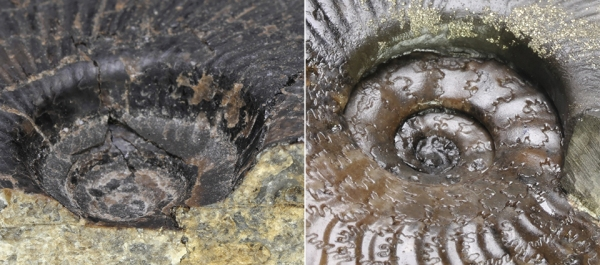 Comparison of Cleviceras elegans (left) with beveled umbilical walls and Cleviceras exaratum (right) with undercut umbilical walls.