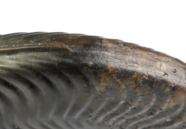 Keel of Cleviceras exaratum : The keel has an extra floor on the chambered part of the shell, and the calcite keel easily gets lost during preparation. Also visible here : The last chamber before the body chamber is smaller, indicating an adult shell (in this case microconch).