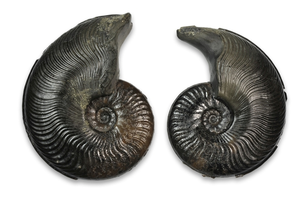 Cleviceras exaratum, two 4.5 and 5 cm microconches
