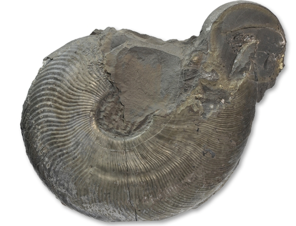 Cleviceras exaratum, body chamber of a macroconch, 18 cm