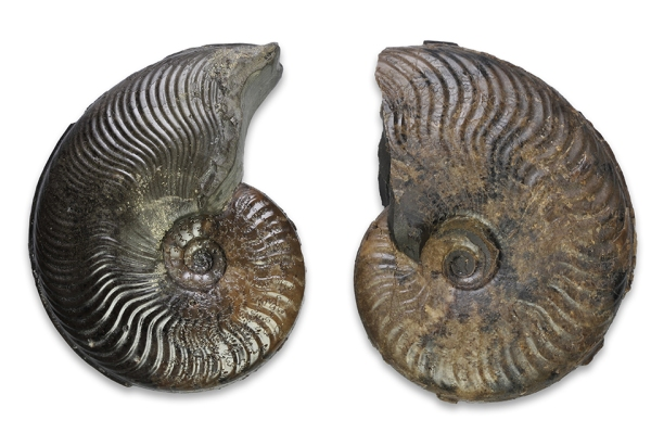 Comparison between Cleviceras exaratum (left, mature microconch) and Cleviceras elegans (partial macroconch), both 5 cm.