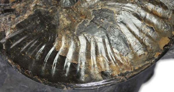 Pseudolioceras boulbiense, ribs do not visibly swing forward at venter