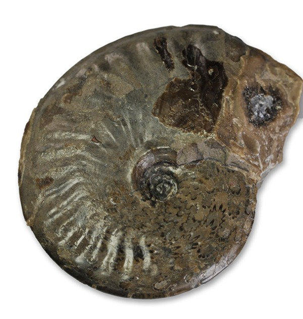 Pseudolioceras boulbiense, 4 cm, showing beveled umbilical wall and suture