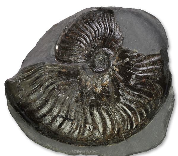 Pseudolioceras lythense, 10.5 cm, with mostly intact body chamber