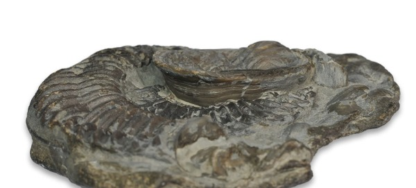 Xenomorphic oyster on a crushed Arietites - side view