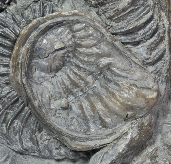 Xenomorphic oyster on a crushed Arietites - detail of the oyster
