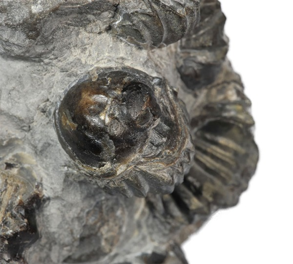 Detail of xenomorphic oyster on brachiopod - with ribbing of the brachiopod replicated on oyster