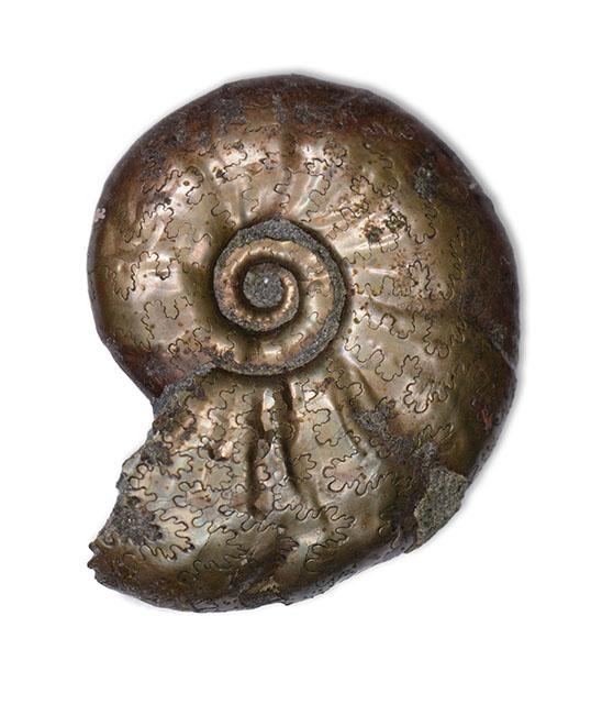 Tragophylloceras numismale, 1.6 cm, Robin Hoods Bay