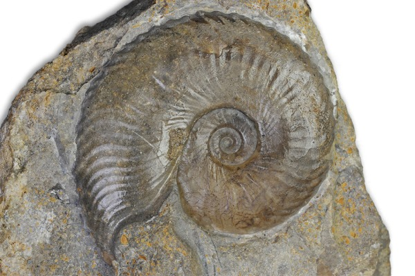 Tragophylloceras undulatum, finely ribbed variant, complete shell with mouth border, 5 cm, Radstock / Somerset