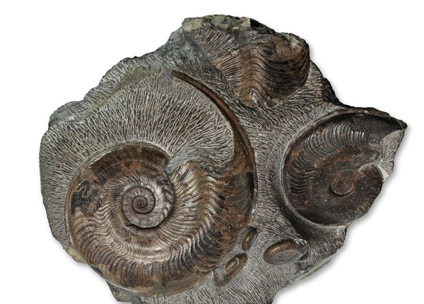 Harpoceras falciferum, 12 cm and 8 cm, Sandsend