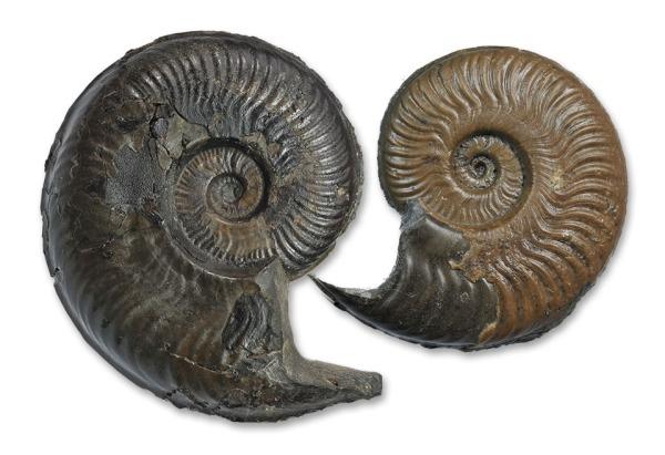 Harpoceras aff. serpentinum, 10 cm from Hawsker Bottoms (left) and Harpoceras serpentinum, 8 cm, from Altdorf/Germany (right)