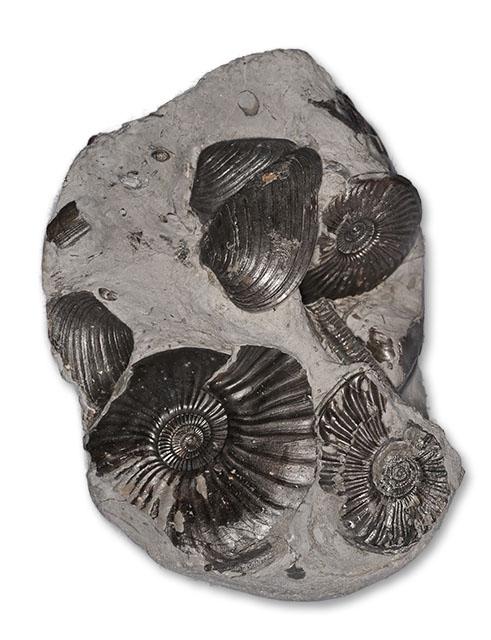 Nodule with multiple Eparietites ammonites, Cardinia bivalves and a Hispidocrinus crinoid stem, width of nodule 11 cm