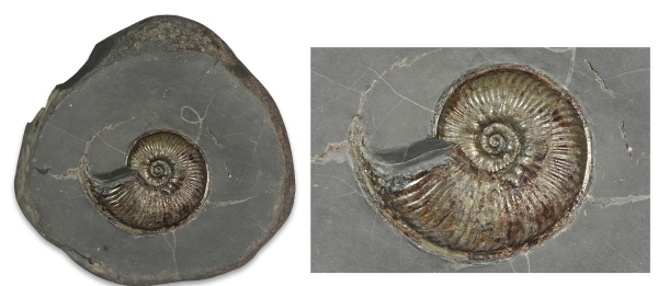 Prepped Haugia variabilis, 7.5 cm, in 16 cm nodule