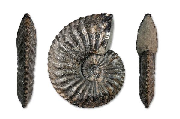 """A 7.4 cm Amaltheus stokesi/bifurcus """"inbetweener"""""""