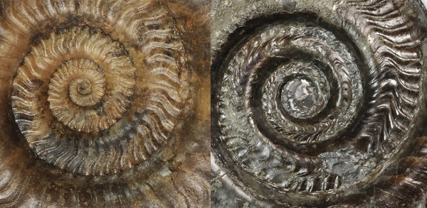 Direct comparison of inner whorls of Hildaites murleyi (left) and Hildoceras lusitanicum (right)