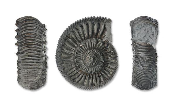 Catacoeloceras cf. jordani GUEX, 5 cm diameter