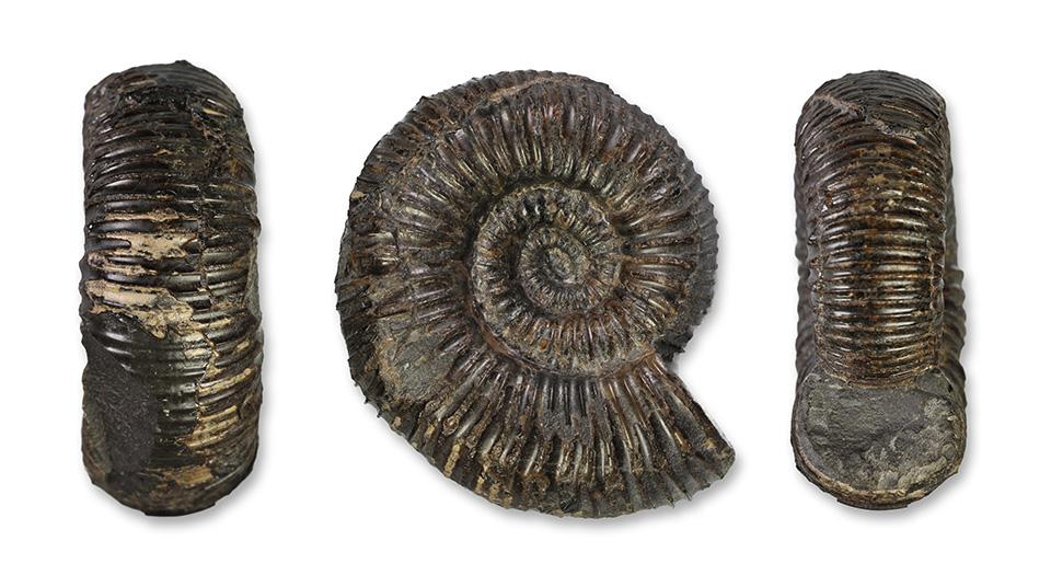 Catacoeloceras crassum, 5 cm diameter