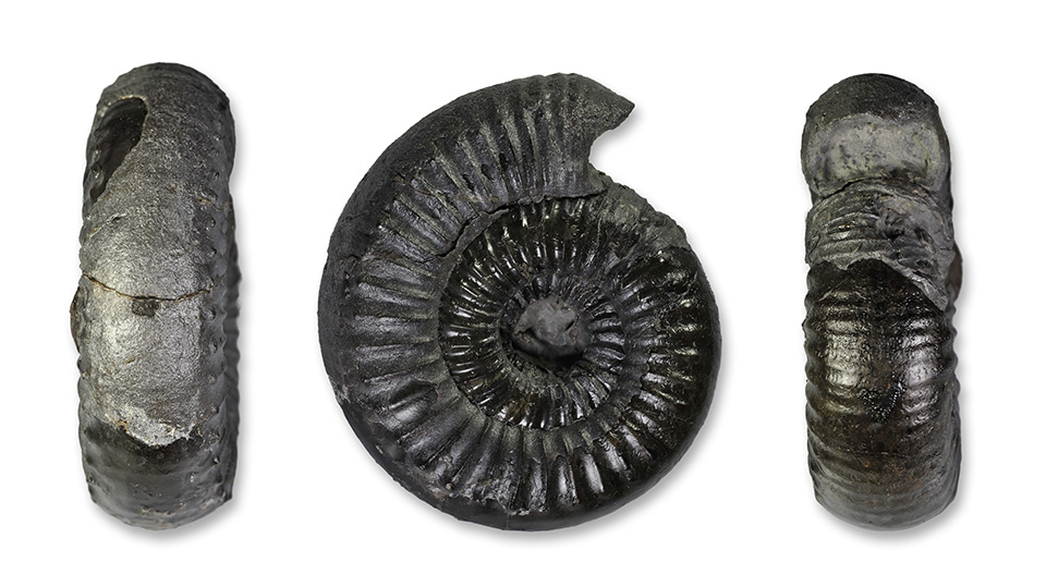 Catacoeloecras dumortieri (DE BRUN), 6 cm, complete specimen with hood at mouth border, unfortunately inner whorl not preserved